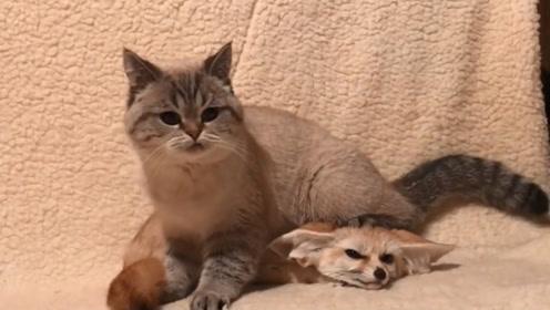主人带回来一只狐狸,猫咪以为是送给它的玩具,这场面搞笑了