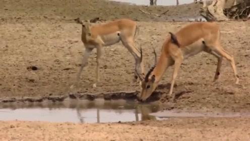 鳄鱼捕杀羚羊却遭遇同伴来抢食,只能大家一起分享了