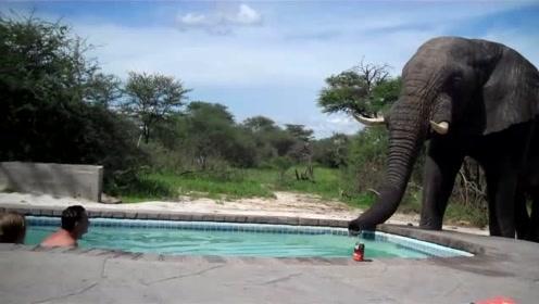 大象看见游泳池里有一对男女在泡澡,想也没想就走了过去,这家伙到底想干啥