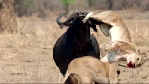 狮子截杀落单小野牛,不料牛群闪现围攻狮子,结局太残忍!