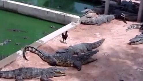 鸡误闯进了鳄鱼池,下一秒好绝望