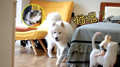 萨摩耶家里搬来了12只猫咪,狗狗从今天起也有猫咪吸啦,开心!