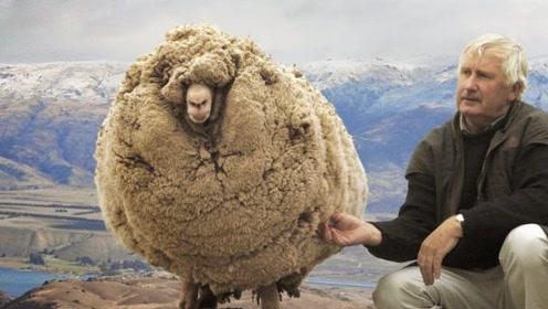 这只羊为躲剪羊毛逃进山洞6年,胖成毛球,剪完毛被总理接见!