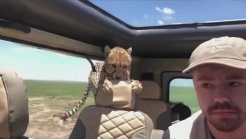 小哥自驾游忘记关车窗,一头花豹钻了出来,吓得小哥不敢动