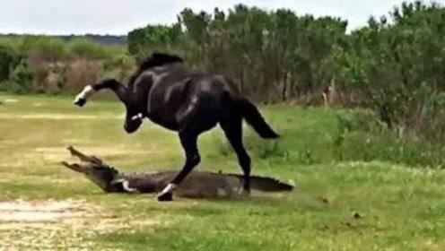 """马发脾气有多恐怖?来看看这条鳄鱼吧,直接被野马""""爆头""""了"""