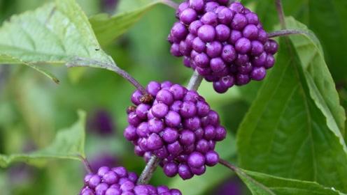 """山里这种""""葡萄树"""",果实不能吃,根却是治疗感冒的良药!"""