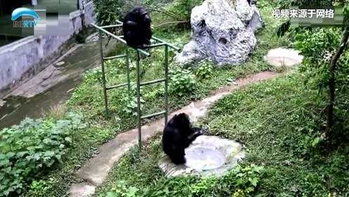 主动洗衣服的黑猩猩:无师自通 动作娴熟