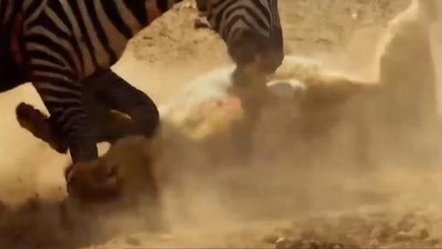 可怜的狮子,捕食不成反被打,镜头记录全过程