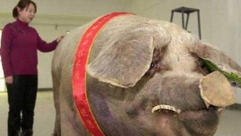 如果一只猪一辈子不杀,它到底能长多大?答案说出来吓你一跳
