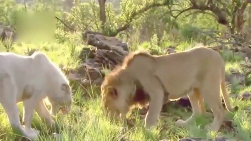年轻白狮杀了一只豹子和一只鬣狗后以为自己很厉害,居然回来挑战狮王