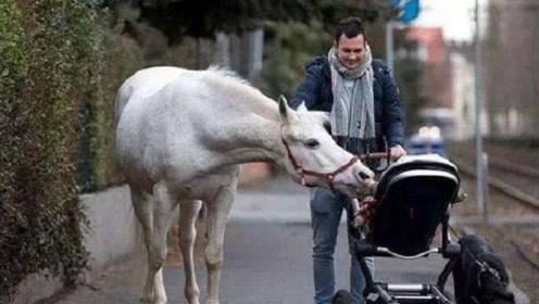 """德国一匹白马在街头散步14年,会和路人""""打招呼"""",警察:不用管它!"""