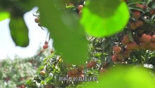相距820公里,杨贵妃却在72小时内吃上荔枝,唐朝快递有多快?
