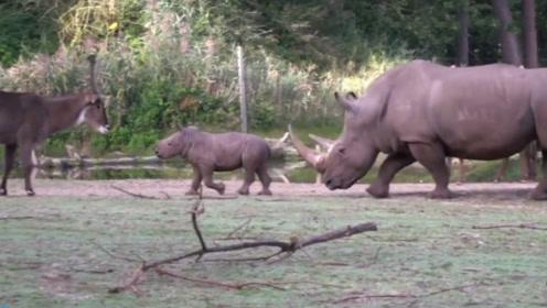 小犀牛出门有妈妈撑腰真是嘚瑟,碰到谁都敢碰,真是飘了