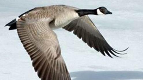 为什么在中国能看到的大雁越来越少?原来真相并不是环境的原因