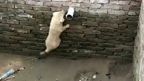 狗子不小心掉猪圈里了,居然想通过这样的方式逃生,这智商也不低嘛!