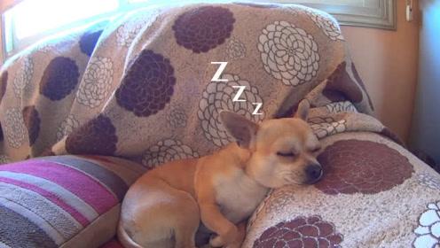 狗子在沙发上睡觉,硬是被铲屎官吵醒,醒来后起床气太大疯狂发脾气