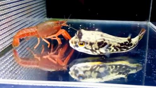 小龙虾的身手也不错,河豚发起了连续的进攻