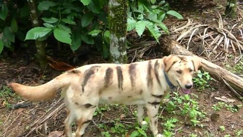 印度农民为防止猴子破坏庄稼,给狗涂上老虎花纹来吓唬猴子!