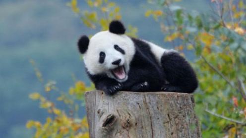 国宝大熊猫死后,尸体都是怎么处理的?结果让人难以接受