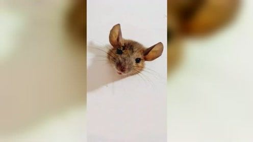 """现实版""""猫和老鼠""""!胖老鼠钻洞进屋偷吃被卡墙洞不能自拔"""