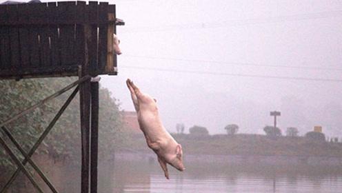 倍儿搞笑:猪猪界跳水梦之队,上演猪蹄诱惑