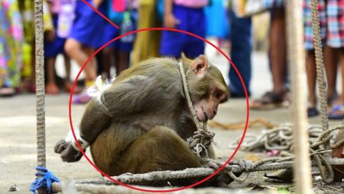 印度猴子泛滥成灾,政府放大招:抓一只奖励50元!