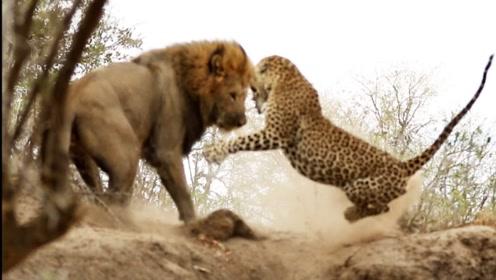 豹子跑到狮子领地上去睡觉!狮子发现后大怒!镜头拍下全过程
