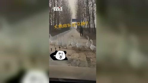 笑喷!男子开车遇大鹅过马路淡定等待 结果往右一看慌了