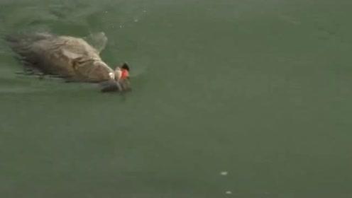 野湖里的鳜鱼太肥了,上钩的就是一个大黑漂,钓友都激动坏了