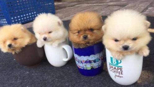 蠢萌娇小的茶杯犬,究竟是怎么培育出来的,看完你还忍心养?