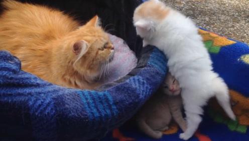 两只小奶猫非要钻进猫妈的怀里,争先恐后往里挤,网友:不要太萌