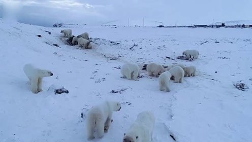 56只北极熊包围小村庄创纪录 组团到访已不是第一次