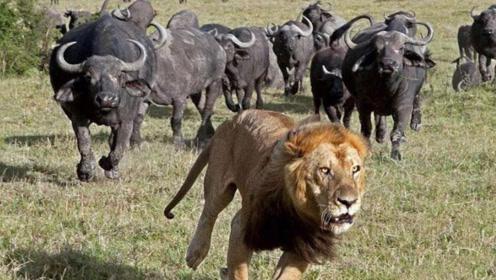 狮子紧盯小野牛,野牛不料却疯狂追杀狮子,狮子这次不敢凶了!