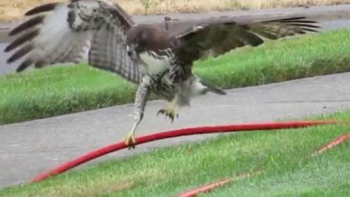 老鹰误把水管当成蛇,起飞时尴尬了,手机拍下搞笑画面