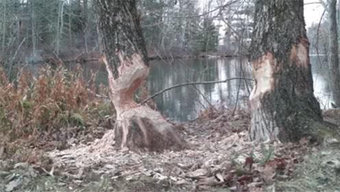 小伙去山上游玩,看见两棵大树被咬断,摄像机拍下全部过程!