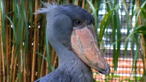 歹毒至极的鸟,还是幼鸟就已经非常凶残,镜头拍下全过程