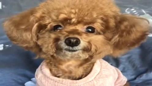 狗狗穿衣服好配合哦,瞧它可爱的模样真讨人喜欢,萌萌哒!