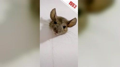 """进退两难!老鼠被卡宿舍墙洞""""不能自拔"""" 学生:它身子太胖 挤不出去"""