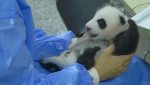奶妈到底对熊猫做了啥?让熊猫宝宝小腿不停的骚动,真是可爱到爆呀