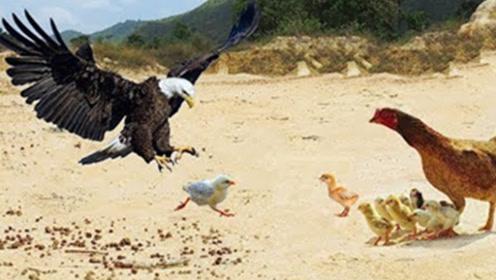老鹰俯身冲向小鸡崽,本以为小鸡崽在劫难逃,结果倒霉的是老鹰
