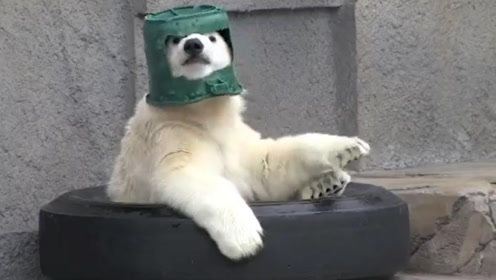 北极熊顽皮起来,竟然把桶当帽子戴,帽子颜色实在是有趣