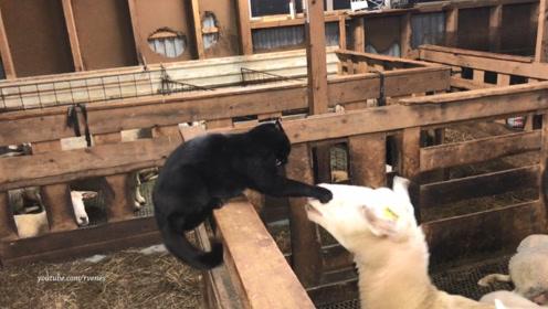 猫咪对着羊头就是几巴掌,接下来羊的反应,请大家憋住不要笑!