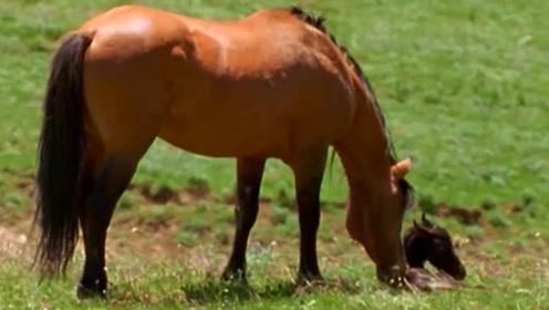 小野马刚出生无法站立,面对要迁徙的野马大军,野马爸爸太残忍了