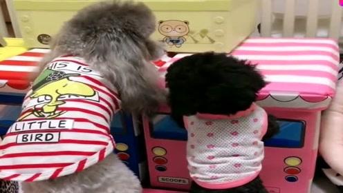 狗宝宝乱尿尿,主人连着狗妈妈一起惩罚,看它们的小模样太可爱了!