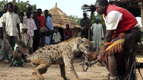 鬣狗为什么会怕非洲人?短短一分钟的视频,看的心酸不已