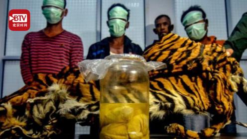 印尼苏门答腊虎被扒皮,虎胎浸在罐中,目前全球仅剩400只,80%死于偷猎!