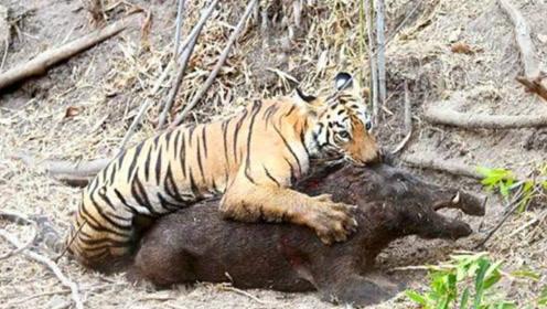 野猪被老虎咬住,不甘心被吃,用獠牙猛攻老虎,有骨气