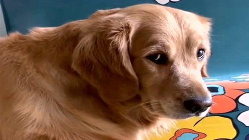 狗狗捂着嘴不愿意吃东西,看它的小眼神太可爱了,都忍住别笑!