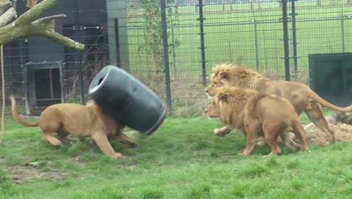 狮子竟然如此逗比,看完视频让人忍俊不禁,网友:实锤二哈一只