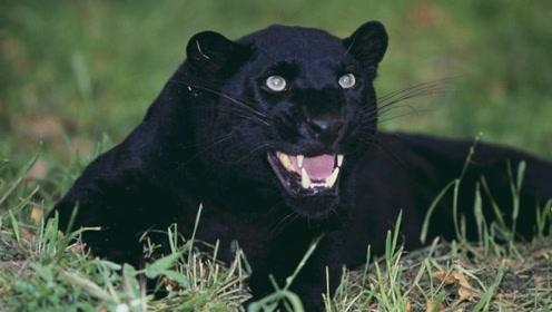 这种动物比狮子老虎厉害,把鳄鱼当零食吃,咬合力高达1250磅
